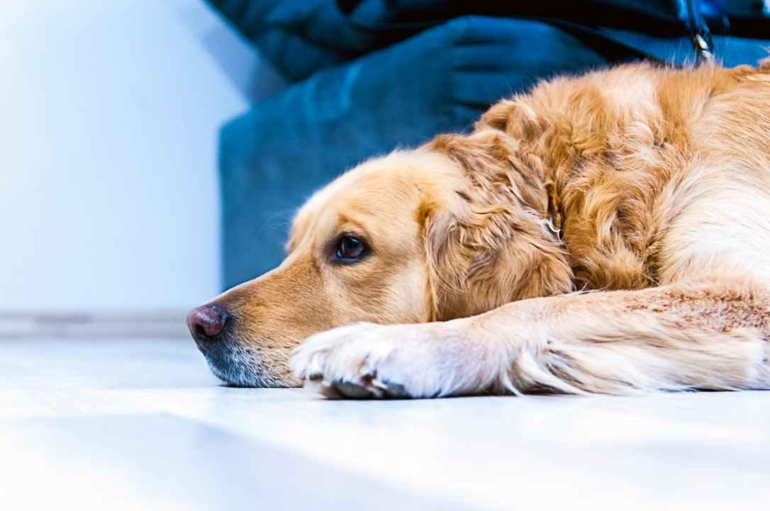 dog pet labrador golden retriever