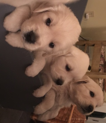 Golden Retriever Puppies Page 2 Moonlit Meadows Of The South
